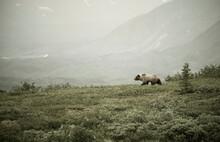Grizzly Bear Walking In Denali...