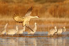 View Of Sandhill Cranes In Pond