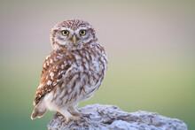 Portrait Of Little Owl Perching On Rock