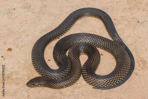 Valokuva Close up of a Mulga or King Brown Snake