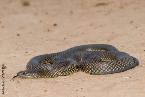 Mulga or King Brown Snake flicking it's tongue Canvas-taulu