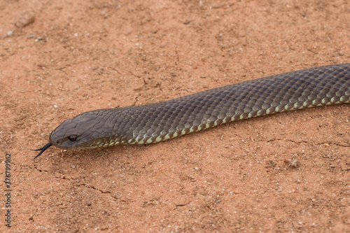 Valokuvatapetti Close up Mulga or King Brown Snake flicking it's tongue