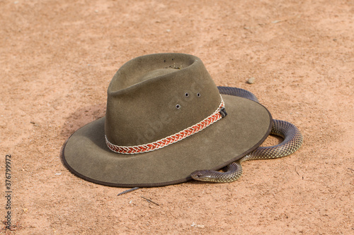 Mulga or King Brown Snake next to felt hat Canvas-taulu
