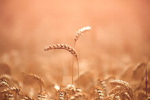 Two Ears Of Wheat, Selective Focus. Natural Yellow Background.