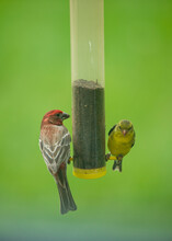 House Finch And Gold Finch On Feeder
