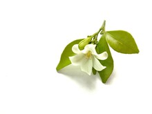 Orange Jasmine White Flower Blooming With Copy Space Isolated On White Background Closeup.