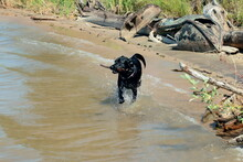 A Black Labrador Runs Along The River Bank With A Stick In Its Teeth.