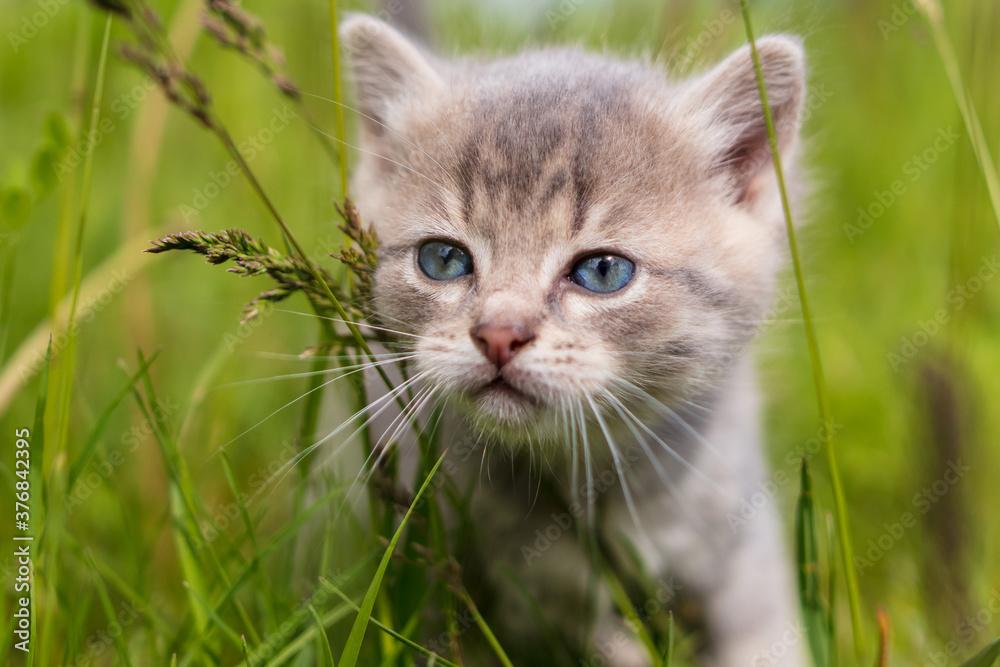 Fototapeta Portrait of a little kitten in green grass