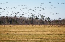 Large Flock Of Migratory Birds...