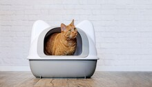 Cute Ginger Cat Sitting In A Litter Box And Looking Sideways. Panoramic Image With Copy Space.