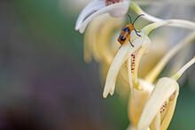 Gold And Brown Bug On Dendrobi...