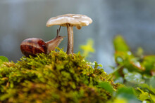 A Large Brown Snail Sits Under A Mushroom With Elongated Antennae On Green Moss And Grass On A Blurry Background With Soft Focus, Art Macro Photo Concept, Forest Dwellers, Flora And Fauna, Autumn, Wil