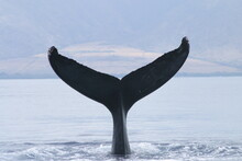 Each Whale Tail Has Different ...