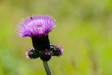 Bee On Flower, In Sweden Scand...