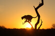 Leopard silhouette at sunrise in South Africa