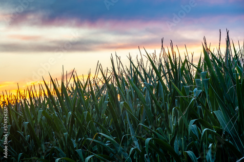 Dramatic, colorful  evening sunset over corn stalks in foreground Fototapeta