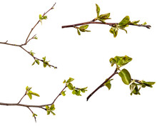 Pear Tree Branch With Young Gr...