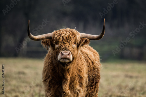 Highland cow grazing in Yorkshire. Wallpaper Mural