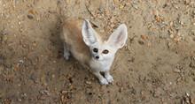 Fennec Fox Or Vulpes Zerda Wild Animal Top View