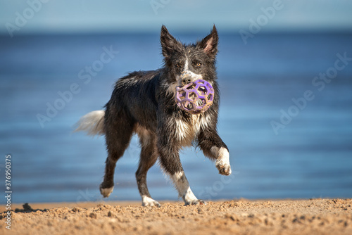 happy wet and dirty border collie dog playing with a ball on the beach