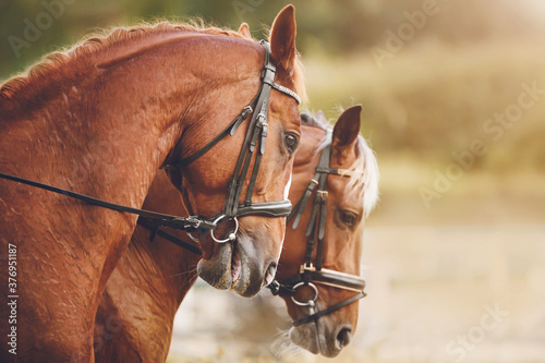 Photographie Two beautiful sorrel horses with a light braided mane stand side by side, illuminated in the warm sunlight