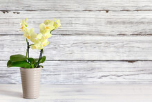 Beautiful Mini Yellow Phalaenopsis Orchid On A Rustic Table Against A White Wooden Background With Free Space For Text. Front View.
