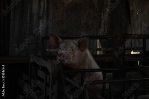 Tela Cerdo encerrado en la porqueriza