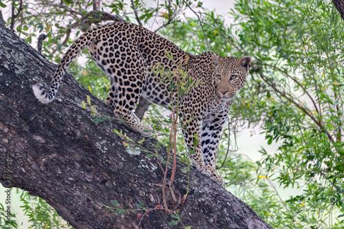 Foto Leopard in Tree