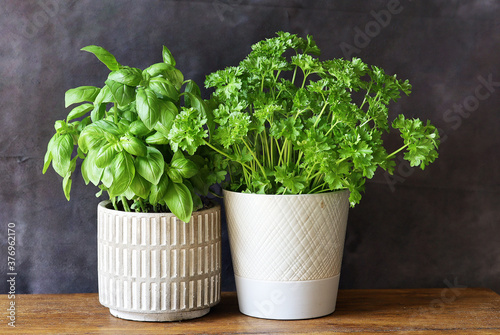 Fotografia A basil  and a parsley plant in a white ceramic vase on an oak table top with a