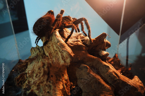 a large black spider with white stripes and villi of the genus Acanthoscurria br Canvas Print