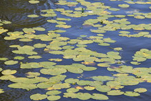 Lilly Pond In A Still River.