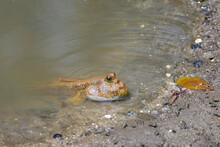 The Atlantic Mudskipper (Perio...
