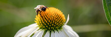 Horizontal Banner Of  A Macro Of A Busy Bumble Bee Extracting Pollen From A White Swan Coneflower, Echinacea, On A Warm Summer Day Against A Green Background.