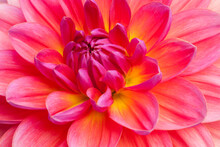 Closeup Of Beautiful, Multi-colored Dahlia Blossom In Summer