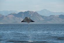 A Mobula Manta Ray Jumping Out Of The Water At Espíritu Santo Island.