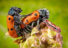 Close Up Of Ladybird Beetles Mating Outdoors