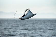 View Of Mobula Manta Ray Jumping Out Of Water