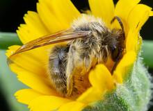 Little Honeybee Sleeping Into ...