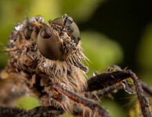 Asylidae Fly Portrait With Som...