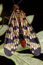 Close Up Of Scorpionfly On Leaf