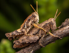 Close Up Of Band Winged Grasshoppers Mating On Branch
