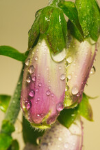 Closeup Of Fox Glove With Water Droplets
