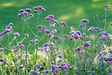 A Selective Focus Of Pretty Verbena Bonariensis (purpletop Vervain, Tall Verbena, Argentinian Vervain) In The Morning Dew. Cultivated As An Ornamental Plant For Decorative Purposes In Garden And Park