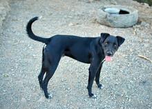 Cute Black Patterdale Terrier Dog Standing On The Asphalt Ground