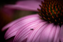 Tiny Insect On Petal Of Pink F...