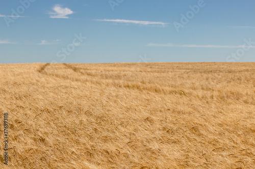 Fotografie, Obraz champs de blé