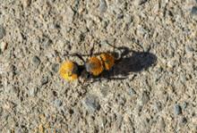 Velvet Ant Wasp, Also Called Cow-Killer