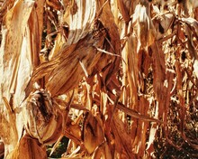 Dried Corn Leaves And Cobs On ...