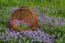 A Basket Full Of Flowering Thy...
