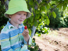 Funny Boy In Green Hat Eats Fresh Strawberries Plucked From Garden Bed Under Tree. Child Is Happy On Vacation In Village
